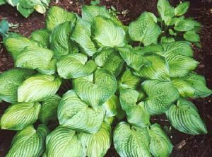 'Guacamole', when mature, has huge, apple-green leaves with wide, dark green margins. This variety is a fast grower and reaches a height of 22-inches with a 38-inch spread. (Photo courtesy of Pioneer Gardens)