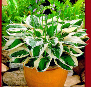 This hosta is called 'Patriot'. This variety has dark green leaves with wide, white margins that are creamy-yellow in spring. This hosta blooms in mid summer with delicate lavender flowers and grows up to about 22-inches in height and 30-inches in width when mature. (Photo courtesy of Pioneer Gardens)
