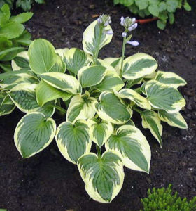 This is 'Wide Brim' with its dark green leaves and wide, yellow, irregular margins. This variety prefers full shade for most of the day. (Photo courtesy of Pioneer Gardens)