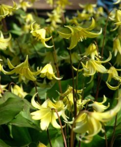 Look how pretty they are in bloom. Commonly known as trout lily or dogtooth violet, Erythronium 'Pagoda' is a robust hybrid cross of Erythronium tuolumnense and Erythronium revolutum, and native to the west coast. It has received the Royal Horticultural Society's Award of Garden Merit. (Photo courtesy of Van Engelen, Inc.)