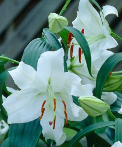 These are spectacular white Oriental lilies. 'Casa Blanca's' huge, outward facing, white flowers have narrow green starburst centers and are richly fragrant. (Photo courtesy of Van Engelen, Inc.)