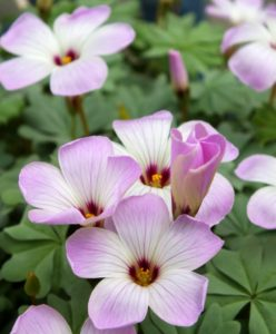 Also referred to as wood sorrel, when in bloom Oxalis adenophylla has dainty, five-petaled, white to lilac-pink flowers with dark purple centers on wiry stems. This long-lasting, deer- and rodent-resistant naturalizer is a great seasonal ground cover. (Photo courtesy of Van Engelen, Inc.)