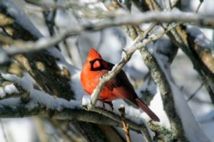 Cheryl captured this photo of a handsome cardinal. Also known colloquially as the redbird, common cardinal or just cardinal, it can be found in southern Canada, through the eastern United States from Maine to Texas and south through Mexico, Belize and Guatemala.