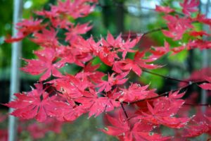 Japanese maple leaves range from about an inch-and-a-half to four-inches long and wide with five, seven, or nine acutely pointed lobes.