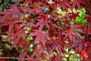 Red leafed cultivars are the most popular, followed by green shrubs with deeply dissected leaves.
