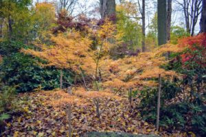 Japanese maple trees are particularly suitable for borders and ornamental paths because their root systems are compact and not invasive. Through this woodland grove, they line both sides of the carriage road.