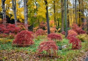 Japanese maples prefer dappled sun or part shade. I purposely planted them beneath larger trees in this area of the farm. The varying heights of these trees also adds a nice texture to the grove.
