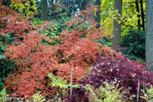Japanese maples are hardy and can withstand very cold temperatures. In summer, water deeply during dry spells, but cut back on the amount of water in late summer to intensify the autumn color.