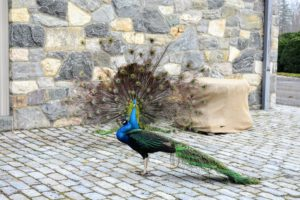And here are my handsome blue peacocks strutting around the stable courtyard with their tail feathers fanned out.