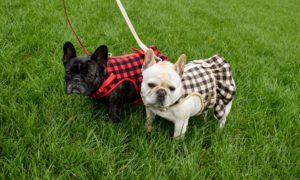 Although my dogs were not with me on this day, here they are in their Buffalo Check Harnesses - everyone stops to greet them whenever they wear these - and they fit so perfectly.