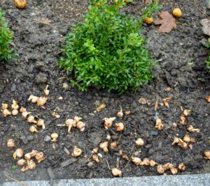 Crocus bulbs are smaller. It is very easy to see which end should be faced up on these bulbs.