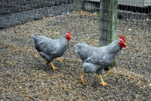 These two are Heritage Barred Plymouth Rocks. These large birds have easygoing personalities and great egg laying characteristics. They can also withstand cold weather quite well.