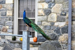 My peafowl are always so curious and friendly. They perch everywhere, watching all the activity around the farm. Be sure to check in to this blog again tomorrow for our Thanksgiving photos!
