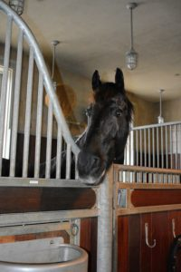 Meindert looks on from his stall - he knows he will soon be going outside. Hello, my handsome boy.