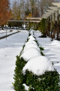 All the boxwood shrubs were covered in snow. Here is the long row of young boxwood that line both sides of the pergola. The crew was tasked with gently brushing all the snow off these precious specimens.