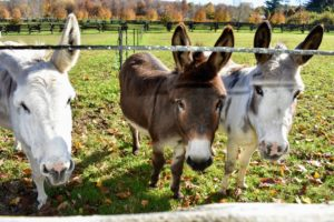 My darling Sicilian donkeys Clive, Rufus and Billie love this time of year. They always come trotting whenever visitors are near - I think they are hoping for treats.