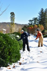 The crew took brooms and rakes and worked as a team to get all the snow off the boxwood border around the herbaceous peony bed.