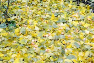 Here are many fruits lying among the fallen leaves.