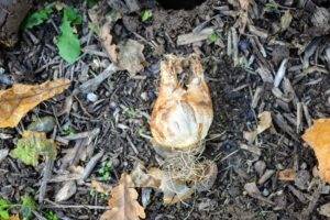 And one by one, each bulb is carefully placed into a hole - again with the pointed end faced up, or root end faced down. This is very important, so the plant grows properly from the bulb.