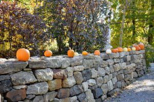 We lined lots of pumpkins along the front stone wall. All of these pumpkins were grown right here at the farm.