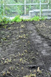 I have five long asparagus beds located in the back of my flower cutting garden. My gardening crew has already started to secure twine along the sides of the bed, so they can be reshaped.