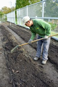 Chhewang carefully levels the mulch over the bed with a hard rake. Prepping asparagus beds for winter will protect the roots from the cold and encourage the plants to go dormant, allowing the plant to rest before its next growth phase in the spring.