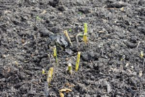 Here are the asparagus stalks once they are covered with compost - the crowns underneath are now well protected.