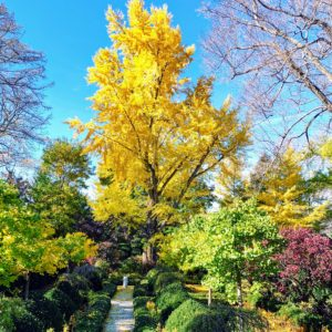 This is the sunken garden behind my Summer House. The main focal point is this great old ginkgo tree at the back of the space. This is how it looked earlier this month - I showed a similar photo of it on my Instagram page @MarthaStewart48. The bright golden yellow leaves tower over many of the trees in this corner...