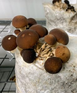 "These are Velvet Pioppini mushrooms, Agrocybe aegerita cv. Velvet Pioppini - a type of shimeji mushroom, which are distinct for their clustered growth habit. Velvet Pioppini mushrooms are also known as Black Poplar mushrooms and Willow mushrooms. In China they are referred to as ""Cha Shu Gu,"" which means ""tea tree mushrooms."" They have chocolate brown caps, pearly stems, and are skinny yet sturdy. The Velvet Pioppini mushroom's rich and earthy flavors are frequently described as ""foresty"" and peppery, with a firm texture and satin finish that holds up beautifully in cooking."