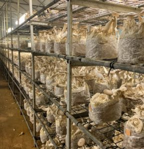 The facility focuses on providing a superior growing climate for the mushrooms. In each of their giant houses, the temperature, humidity and oxygen content are monitored by a computer 24-hours a day.