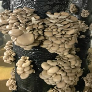 Here is another gray oyster mushroom. The oyster mushroom is one of the more commonly sought wild mushrooms, though it can be cultivated on straw and other media as seen here. It has the bittersweet aroma of benzaldehyde, similar to bitter almonds.