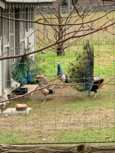 "If you follow me on my Instagram page @MarthaStewart48, you may have seen photos of the ""Cantitoe Blues Brothers"" - my blue peacocks. Here they are strutting their tail feathers for the two peahens - the girls don't really seem impressed right now, but it is still early for breeding season."