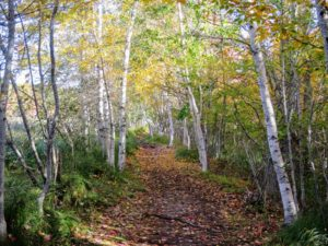 This path becomes a beautiful boardwalk through a boggy, white birch forest.