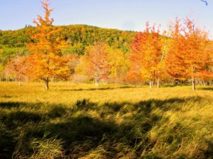And here is more fall foliage seen through the woodland – the golden fall colors are so beautiful.