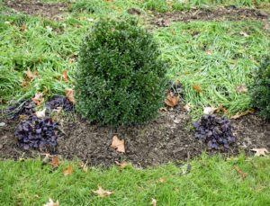 Some bulbs are specifically planted behind the ajuga. Ajuga 'Black Scallop' is a unique perennial in the mint family Lamiaceae, with most species native to Europe, Asia, Africa, and southeastern Australia. Ajuga has lush dark burgundy-black foliage that blankets the ground when mature.