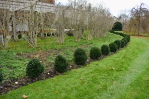 The ajuga is planted with three in between each boxwood shrub – two in the back and one in front. In landscape design, many gardeners go by the rule of planting in odd numbers for variance and repetition.