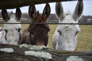 My three Sicilian donkeys, Billie, Rufus and Clive, love running across the paddock to greet visitors. The light snow doesn't bother them one bit. Even though they have a very nice run-in shed to use in inclement weather, they enjoy playing and grazing in the open field.