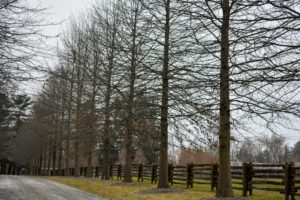 This is one side of the Pin Oak Allee adjacent to the Equipment Barn. Pin Oak, Quercus palustris, has an oblong or rounded crown that becomes more irregularly open with age.