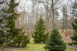 I love passing through the Pinetum during my horseback rides around the farm. This area includes pines, spruces and firs, as well as other evergreens. I try to add a few more specimens to the pinetum every year.