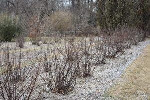 The currant bushes look happy and healthy in their new location behind my main greenhouse.
