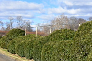 Here is a row of vertical stakes placed every few feet in between the shrubs and topped with the horizontal supports.