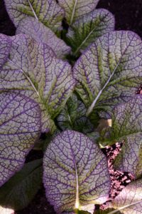 Here is a closer look at the leaves of purple Tsai-Tsai. It has dark green leaves with purple veins and a flavor very similar to broccoli rabe, but not as strong.