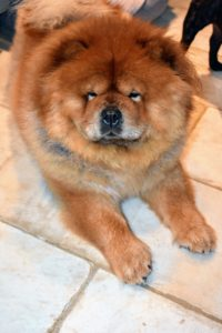 My champion Chow Chow show dog, Empress Qin, waits patiently for anything that falls to the ground - though she prefers more savory bites than sweet.