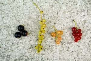 I grow all the currant colors - black, white, pink and red. Black currants are the most nutrient-rich of the currants. They are high in vitamins A, C, B1, B5, B6, phyto-chemicals and antioxidants. White currants are the sweetest – sweet, and tart with floral undertones. Pink currants are most often harvested for jams, jellies, and pies. Red currants can range from deep red to pink and are best picked when they are firm and juicy.
