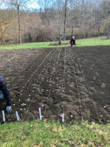 When planting multiple rows of garlic, be sure the rows are at least one-foot apart. The majority of garlic in the US is planted from mid-October through November, several weeks before the ground freezes.