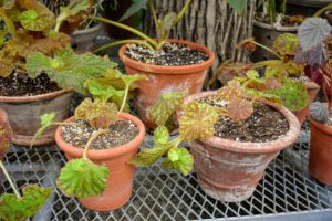 These plants are considered cool temperature plants and will do best in temperatures ranging from 58 to 72 degrees Fahrenheit. These begonias will be very happy in their pots for quite some time.