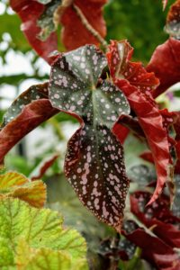 I love this whimsical looking begonia with its spotted leaves. It is a vigorous grower best suited for upright pots.