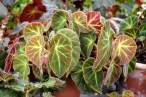 Begonia 'Caravan' has a leaf pattern of chartreuse veining on chocolate-green, with a velvety texture.