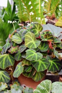 Begonia 'soli-mutata' has copper textured foliage with silver-green striping. Several of my 'soli-mutata' plants were grown from leaf cuttings off a parent plant.