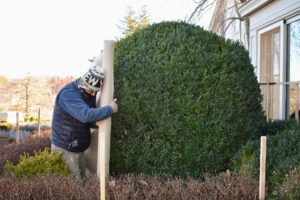 Pete carefully walks around the giant boxwood, unrolling a length of burlap as he goes.